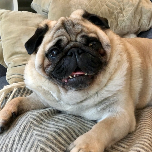 Cute pug on couch